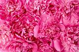 Peony flower heads - background
