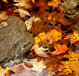 Frog deep in fall leaves