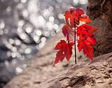 Red maple seedling by river