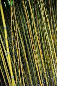 Bamboo jungle - Monte Palace botanical garden, Monte, Madeira