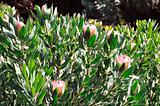 Monte Palace Tropical Garden - Protea