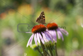 bright butterfly on a flower Echinacea purpurea