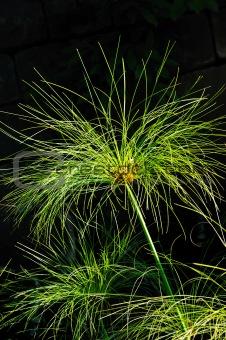 Cyperus papyrus - detail