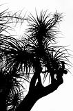 Old Nolina recurvata Hemsl. -  silhouette
