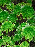 Close up of an ornamental Aeonium - succulent (Pinwheel)