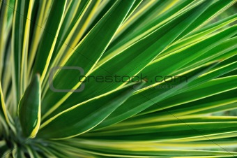 Close up of Yucca - abstract background
