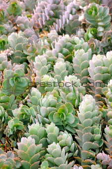 Close up of Kalanchoe - succulent