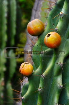 Close up of cactus with fruit