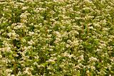 Flowering buckwheat field