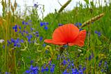 Red poppy blooming in the field