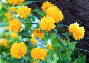 Image 3488582 Spring Bush With Yellow Flowers From Crestock Stock