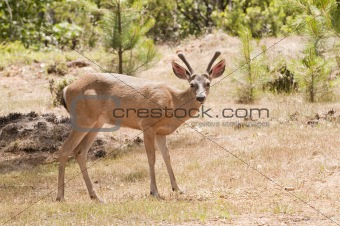 Californian Black-tailed deer
