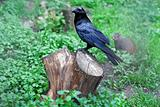 corbie black bird stump
