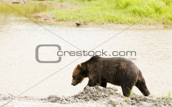 Grizzly bear by stream