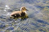 duckling making ripples