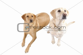 pair of White Labradors