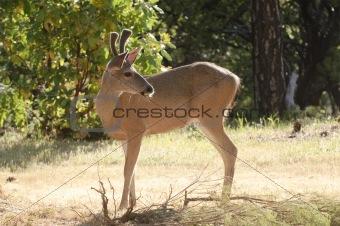 Black-tailed buck