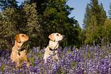 Two Labradors sitting in the wildlflowers