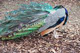 Shy peacock