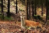 Red female deer in the woods