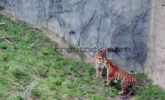 Tigers stand off