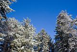 Snow covered evergreens