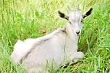 Young white goat