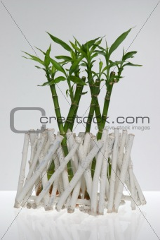 A lucky bamboo plant