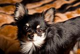 Long-hair Chihuahua dog