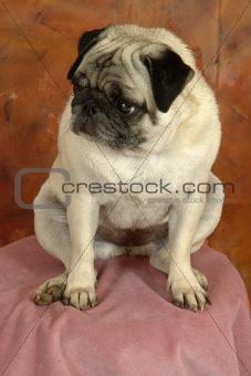 Posing Pug