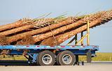 Palm tree trunks