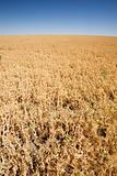 Pea Field
