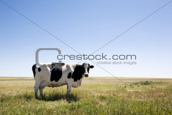 Copy Space Cow