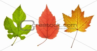 three leaves in different colors