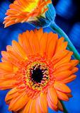 Colorful gerbers
