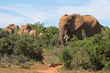 Herd of Elephants in the African Bush