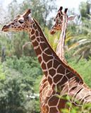 Safari Giraffes