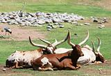 Big Horned Steer