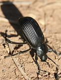 Black Beetle