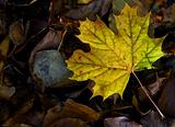 Leafs on autumn forest floor