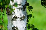 birch shaft