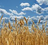 Ripe wheat against the backdrop of a beautiful sky