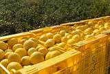 Lemon harvest