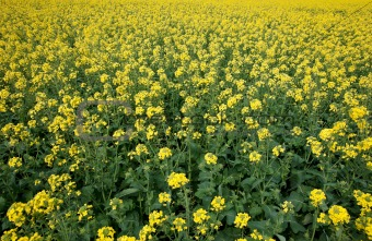 canola in the farm field