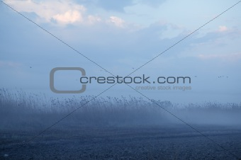 Foggy moor landscape dark blue with canes  birds