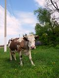 Motley Cow in rural areas