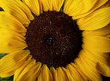 Sunflower Helianthus annuus