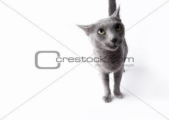 Funny Russian Blue Cat