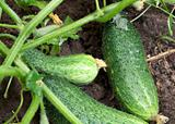 Green cucumbers on a bed.