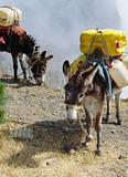 Donkeys carrying water in Cape Verde